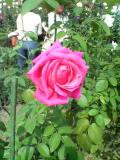 このバラの名は……