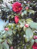 咲いてます